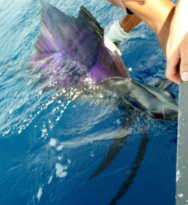 Yes, Sailfish REALLY Like BFDs!