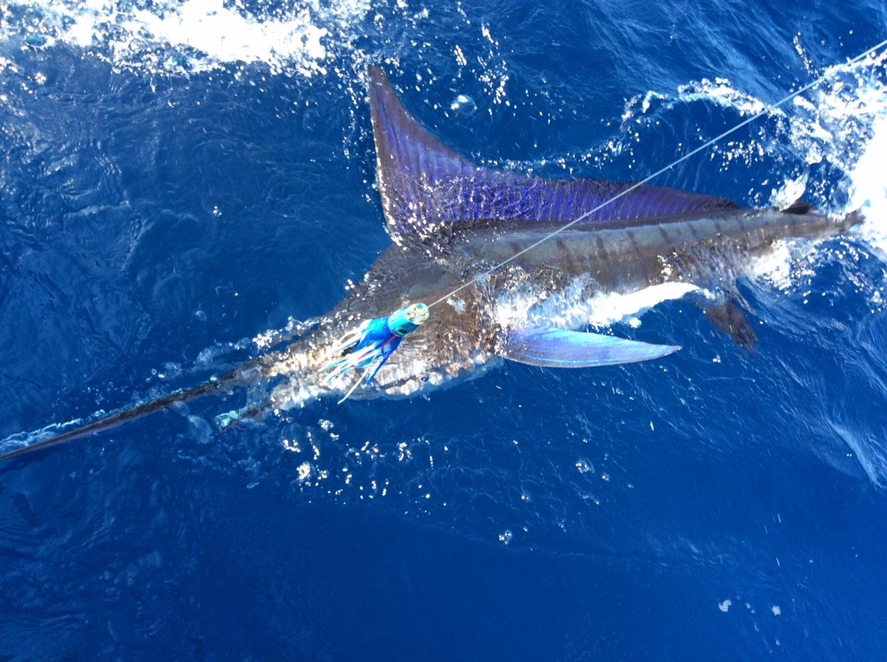 <p>Striped Marlin on a BFD</p>