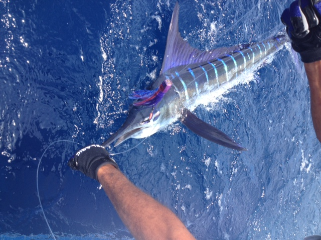 <p>Beautiful Marlin on a Pretty Lure</p>