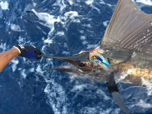 Pacific Sailfish on a BFD Big Game Lure