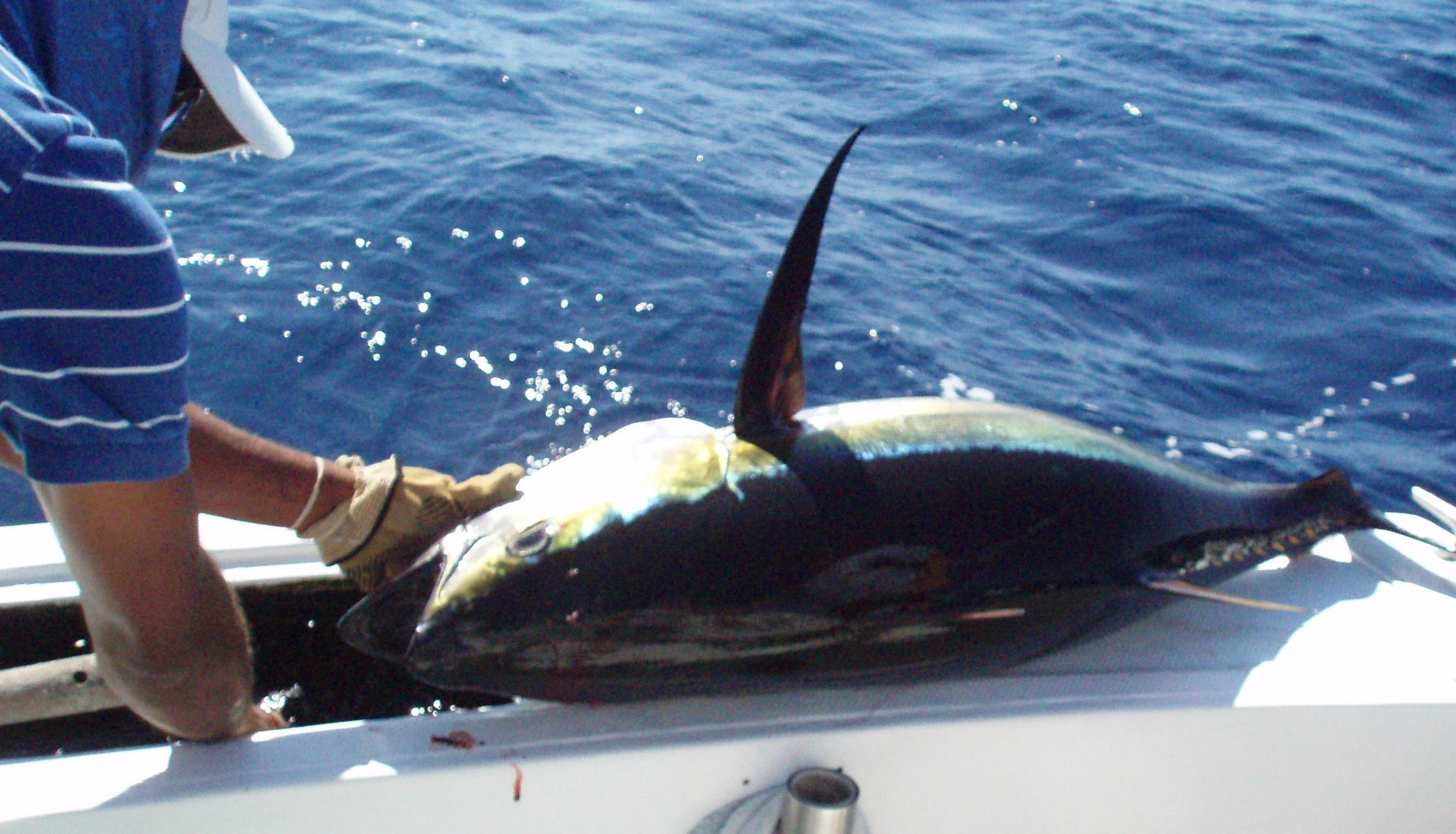 <p>Yellow Fin Tuna</p>