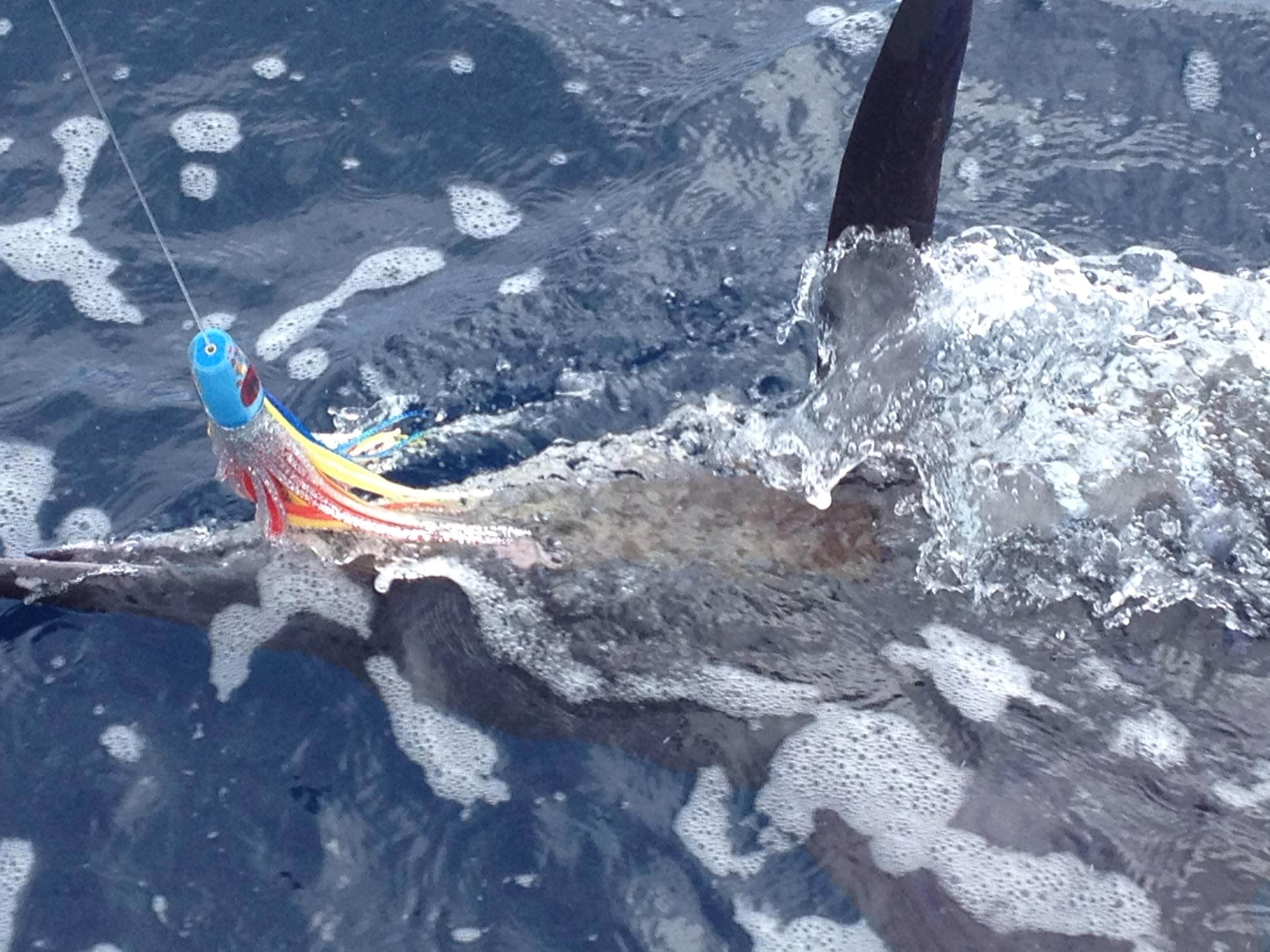 <p>Striped Marlin on a BFD Plunger</p>