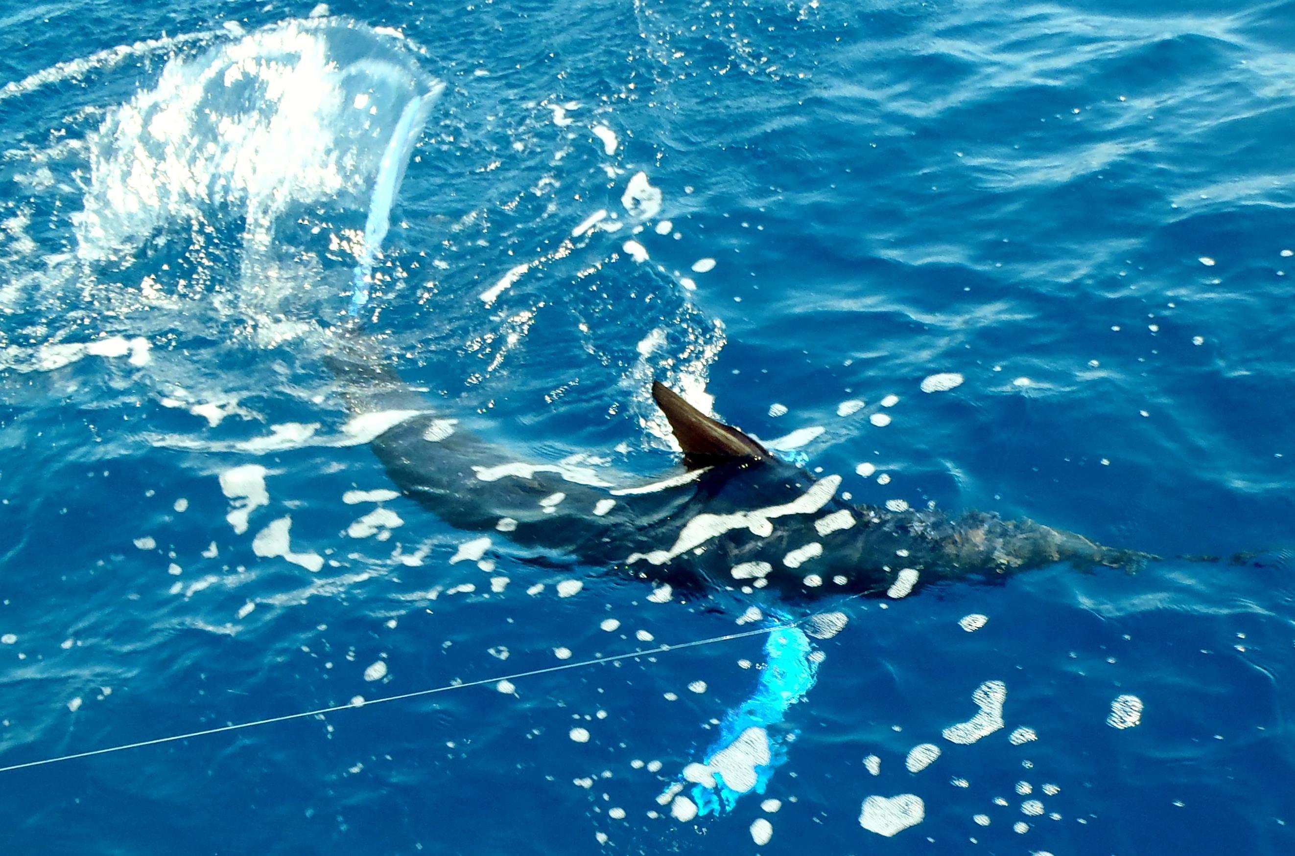<p>White Marlin in the Gulf</p>