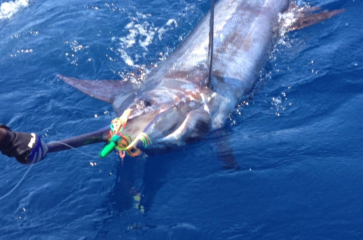 <p>Blue Marlin on a BFD Bullet with Guacamaya Skirts</p>