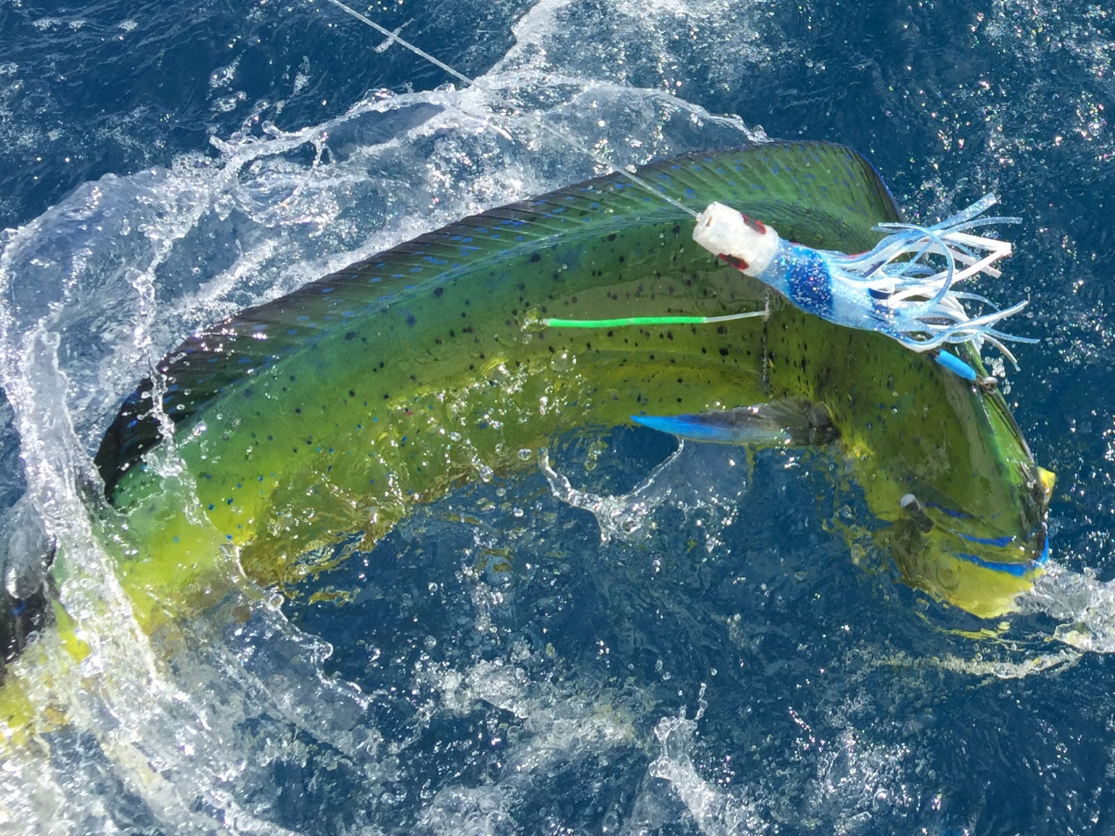 <p>Mahi Mahi Tagged and Released</p>