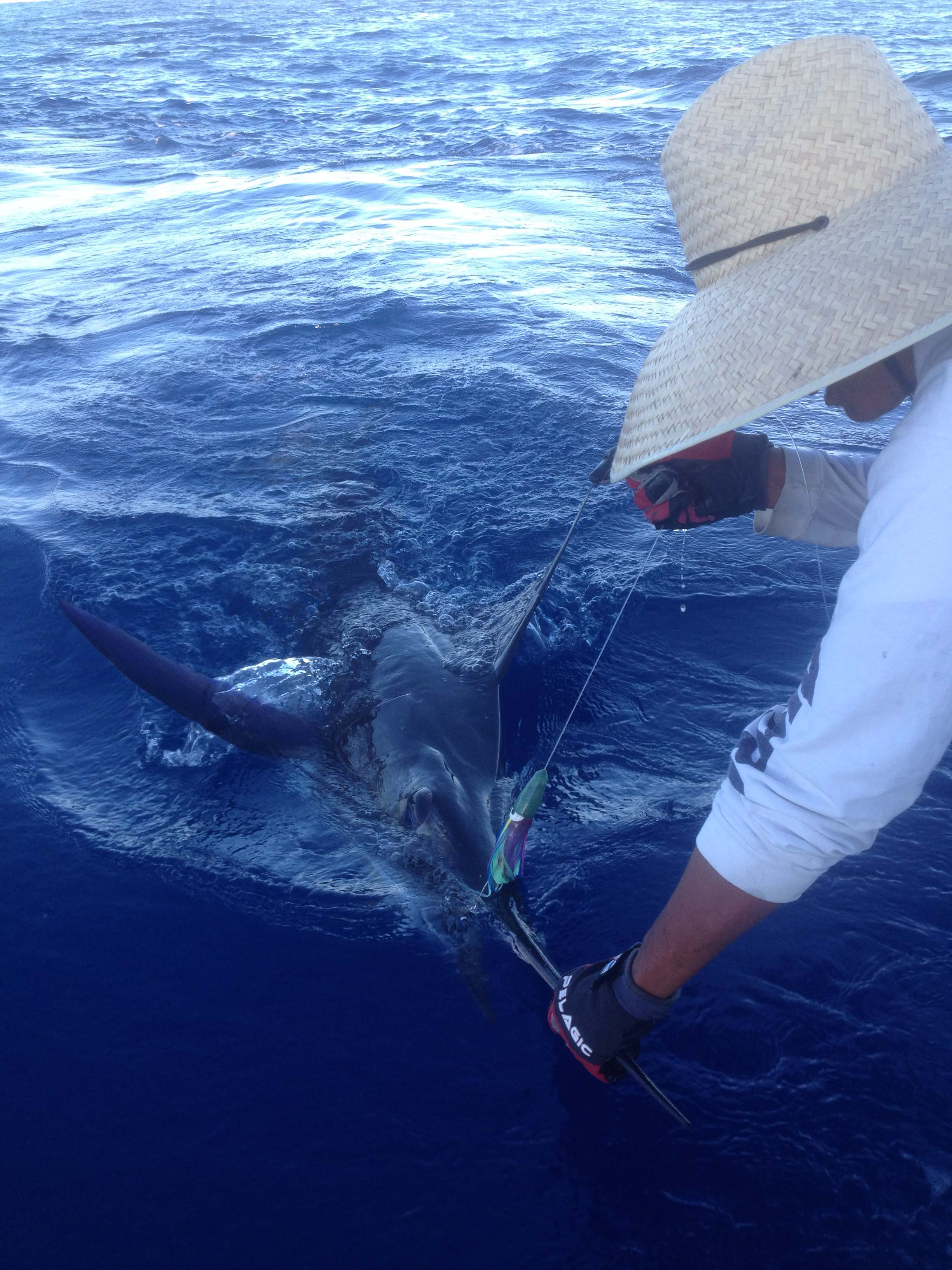 <p>Striped Marlin on BFD's Blue Bullet</p>